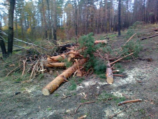 3 года колонии за 5 срубленных сосен в Севастополе