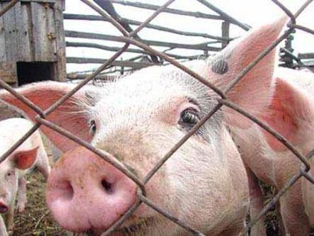 ВБалашовском районе найден уже десятый очаг африканской чумы свиней