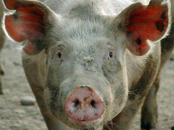Самарской области грозит африканская чума свиней