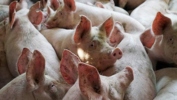 ВБалашовском районе отафриканской чумы пали свиноматка ипоросенок