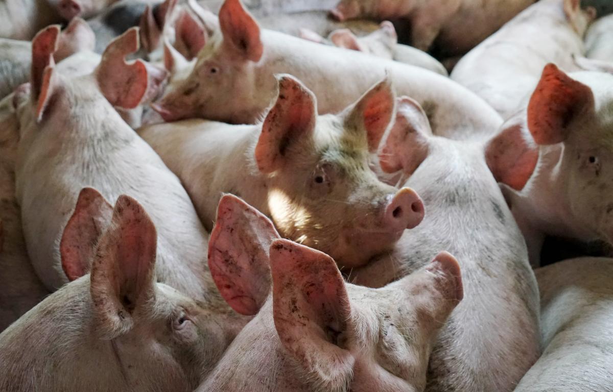 НаСамарскую область надвигается африканская чума свиней
