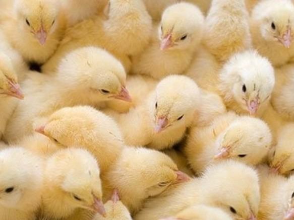 ВСаратовскую область непропустили 90 тыс. цыплят изДагестана